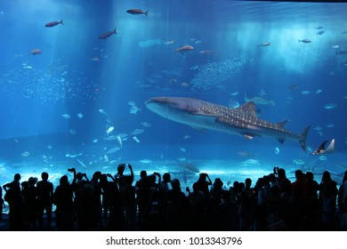 Whale shark in the biggest aquarium in Japan