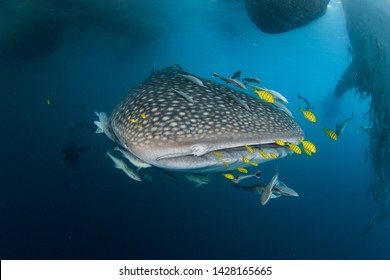 Whale Shark - biggest fish on the planet - swims head first close up to the camera with lots of yellow pilot fish. Scuba diving with ultra wide angle fisheye lens close to the surface in Indonesia