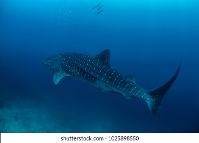 Whale shark in the blue water