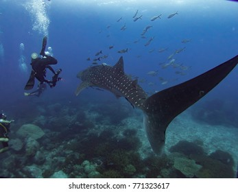 whale shark with blue water background