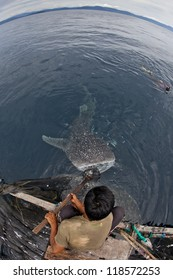 whale shark in the blue waters of cenderawasih bay, indonesia