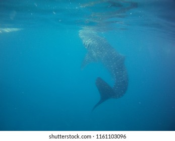 whale shark - bohol city in Philipines