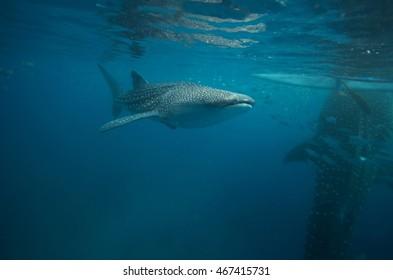 whale shark, Cebu Islands, Philippines