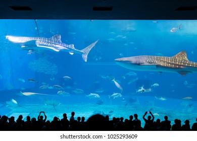 Whale shark at Churaumi aquarium in Okinawa