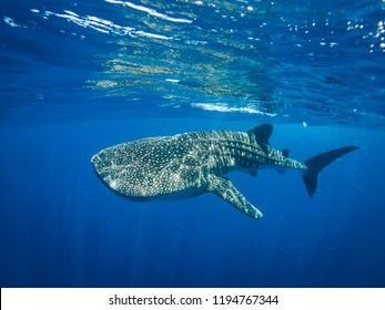 Whale shark in crystal clear blue water
