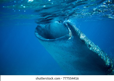 Whale shark in deep blue sea. Whale shark closeup eating plankton by sea water surface. Huge oceanic animal. Biggest shark in natural environment. Snorkeling or diving with whale shark in Philippines