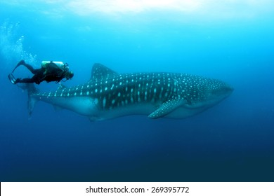 Whale Shark with a diver in Darwin and Wolf in Galapagos