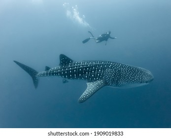 Whale shark and diver in deep water