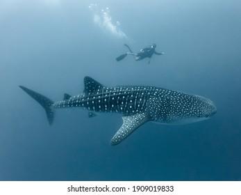Requin baleine et plongeur en eau profonde