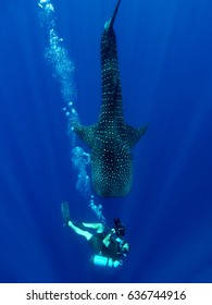 A whale shark diving down with a scuba diver who is holding an underwater video camera swimming in front of it