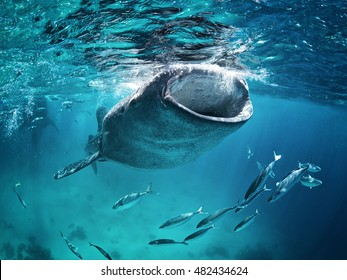 Whale Shark eating at the surface with fish