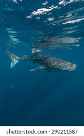 whale shark encounter whilst scuba diving