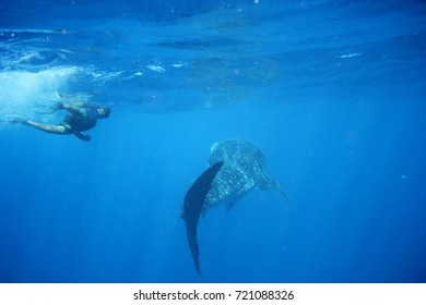 Whale shark feeding in deep water. Snorkeling with marine life in the Caribbean sea.