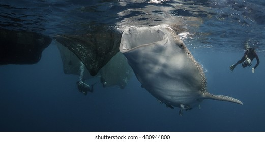Whale shark feeding off the fishing nets hanging from floating fishing platforms in Cenderawasih bay West Papua Indonesia.