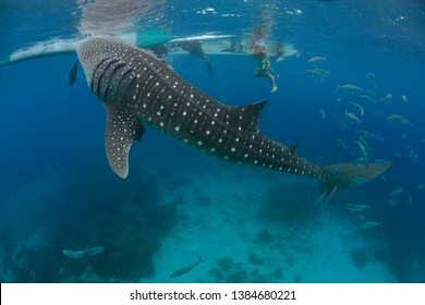 whale shark feeding Philippines - Oslob