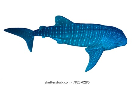 Whale Shark isolated white background