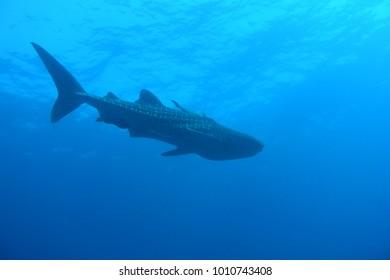 Whale shark - Ko Chang Thailand