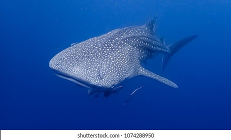 Whale Shark at Koh Chang, Thailand.