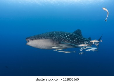 Whale shark in maldives