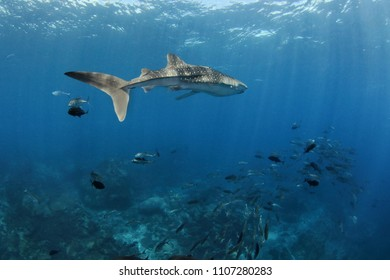 Whale Shark in the ocean