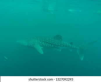 Whale Shark in ocean with Cobia fish and Remoras, Western Australia Ningaloo Reef