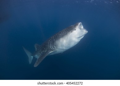 Whale shark with open mouth swimming through a cloud of plankton and krill filtering the water for food.