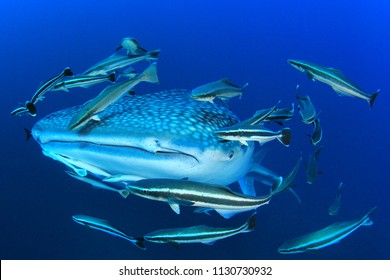 Whale Shark and Remora fish