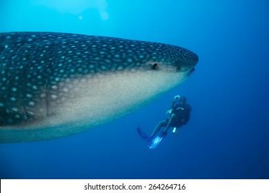 Whale Shark (Rhincodon Typus) and Diver, South Ari Atoll, Maldives