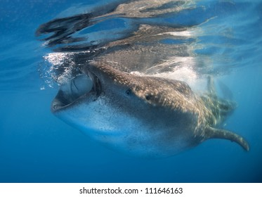 A Whale shark  (Rhincodon typus) feeds on bonita eggs and plankton on the surface of the water. These sharks have no teeth and are filter feeders.