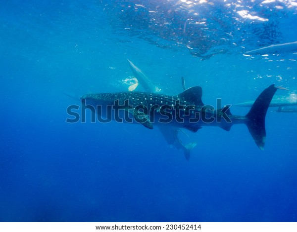 Whale shark (Rhincodon typus) is a filter feeding shark and the largest known extant fish species
