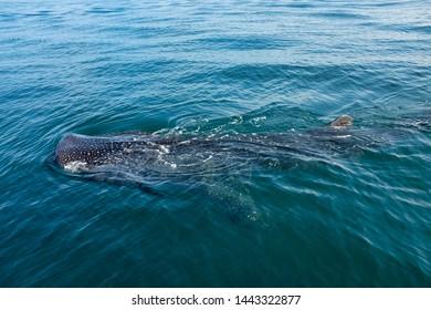 Whale shark, whale shark (Rhincodon typus)  photographed near the sea surface in Holbox Island, Yucatán, Mexico.