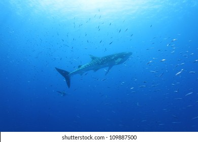Whale shark (Rhincodon typus) in the Red Sea and an Oceanic White Tip shark (Carcharinus longimanus) underneath it
