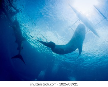 Whale shark (Rhincodon typus) is a slow-moving filter feeding shark and the largest known extant fish species, Philippines undersea