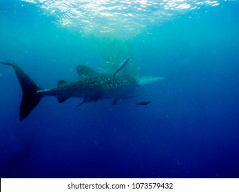 Whale shark (Rhincodon typus) is a slow-moving filter feeding shark and the largest known extant fish species