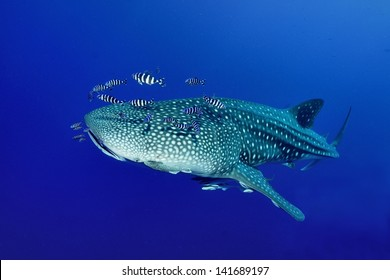 Whale shark (Rhincodon typus) swimming  in the blue ocean