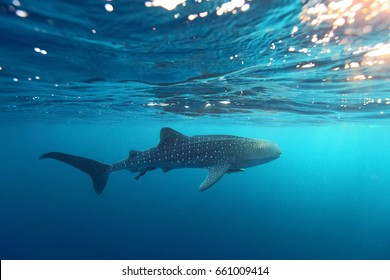 Whale Shark (Rhincodon typus) swimming  at  crystal clear blue waters near the surface at Ko Losin  . the Gulf of Thailand . Marine life and underwater scene, sun rays and sunlight.