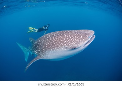 A whale shark (Rhincodon typus) swims through the open ocean searching for plankton. This endangered species originated about 60 million years ago and is the world's largest extant fish.