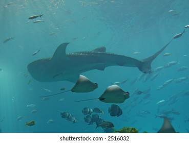 a whale shark and a school of manta rays swims across at the Georgia Aquarium