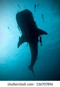 Whale shark silhouette, Koh Tao, Thailand.
