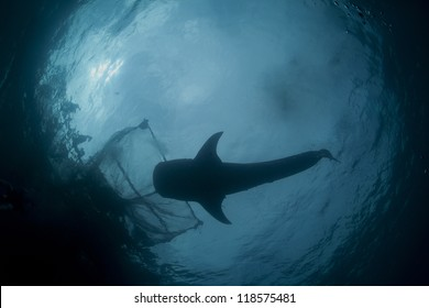 whale shark silhouette under the fishermans nets