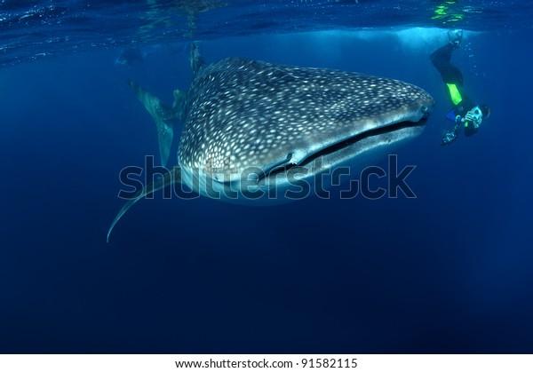 Whale shark & snorkeller Rhincodon typus Seychelles