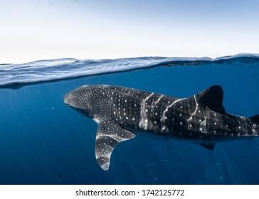Whale Shark split shot on a calm glassy day on the Ningaloo Reef, Western Australia