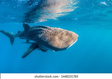 Whale Shark swimming alone in clear blue water close to the surface. Sun beams and light rays shining through the surface