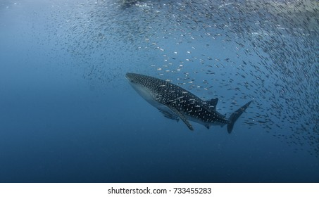 Whale shark swimming among a school of bait fish, Cenderawasih Bay, West Papua, Indonesia.