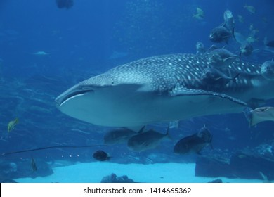 Whale shark swimming in an Aquarium with other fish following