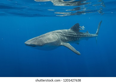 Whale Shark swimming below the surface