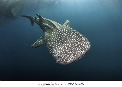 Whale shark swimming, Cenderawasih Bay, West Papua, Indonesia.