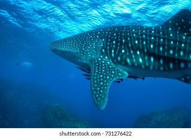 Whale shark swimming in crystal clear ocean water in Richelieu Rock, North Andaman, Thailand
