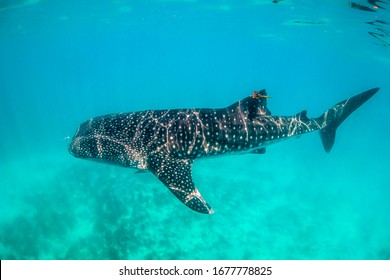 Whale shark swimming freely in clear turquoise water
