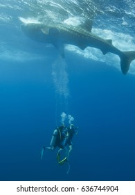 A whale shark swimming over the top of two scuba divers.
